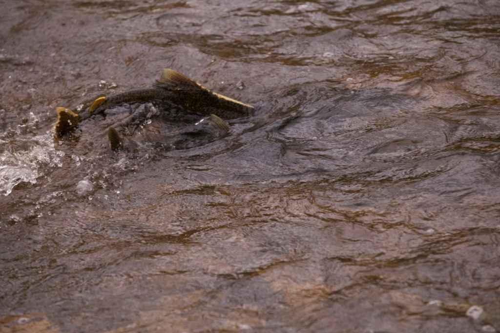 Les saumons du lac Ontario remontent les rivières pour frayer. (Photo: Wendy Schneider)