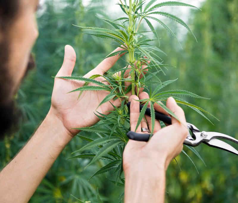 Cannabis à domicile