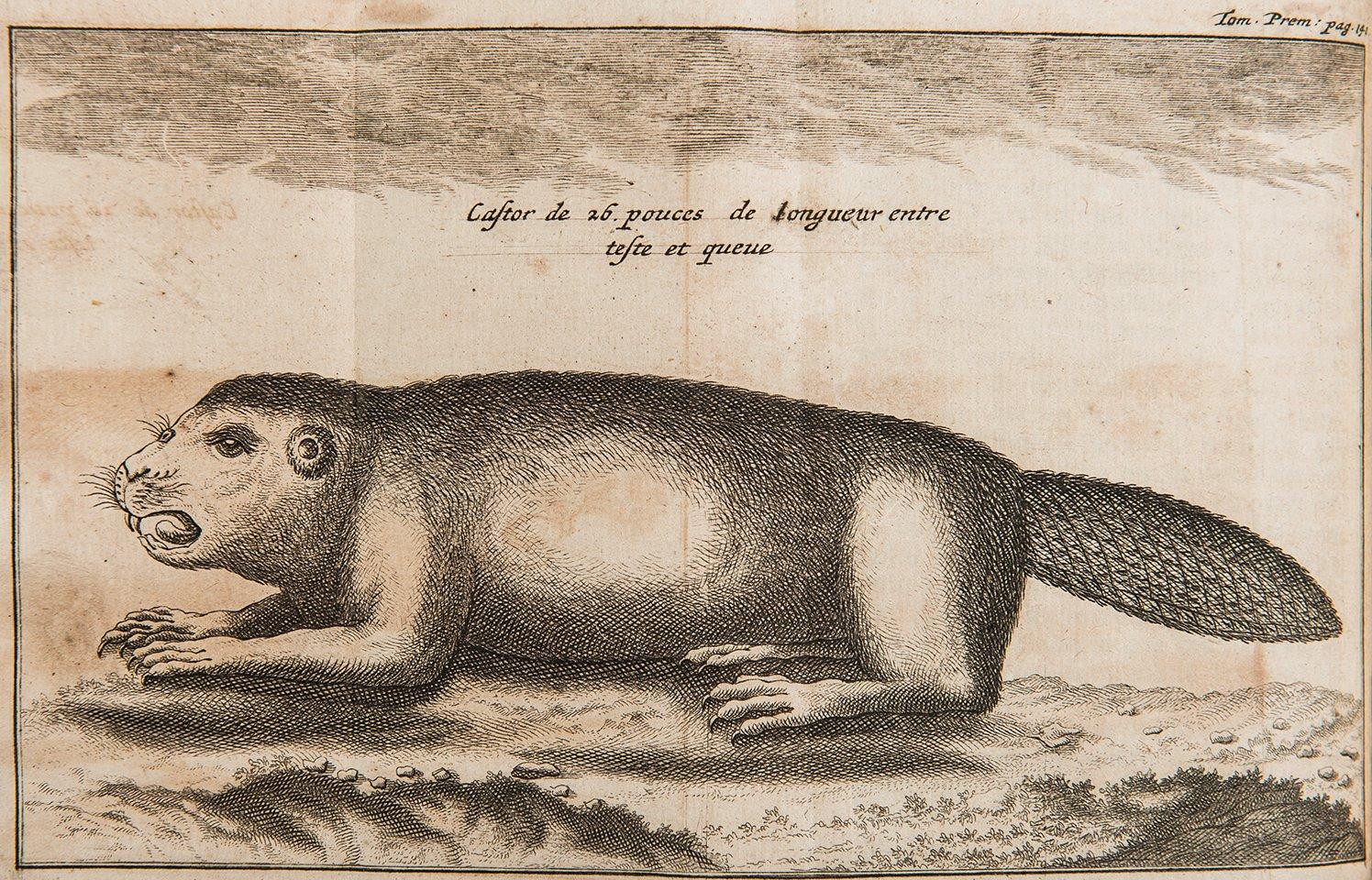 Description castor