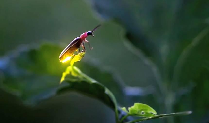 fluorescence-luciole-mouche à feu-lumiere