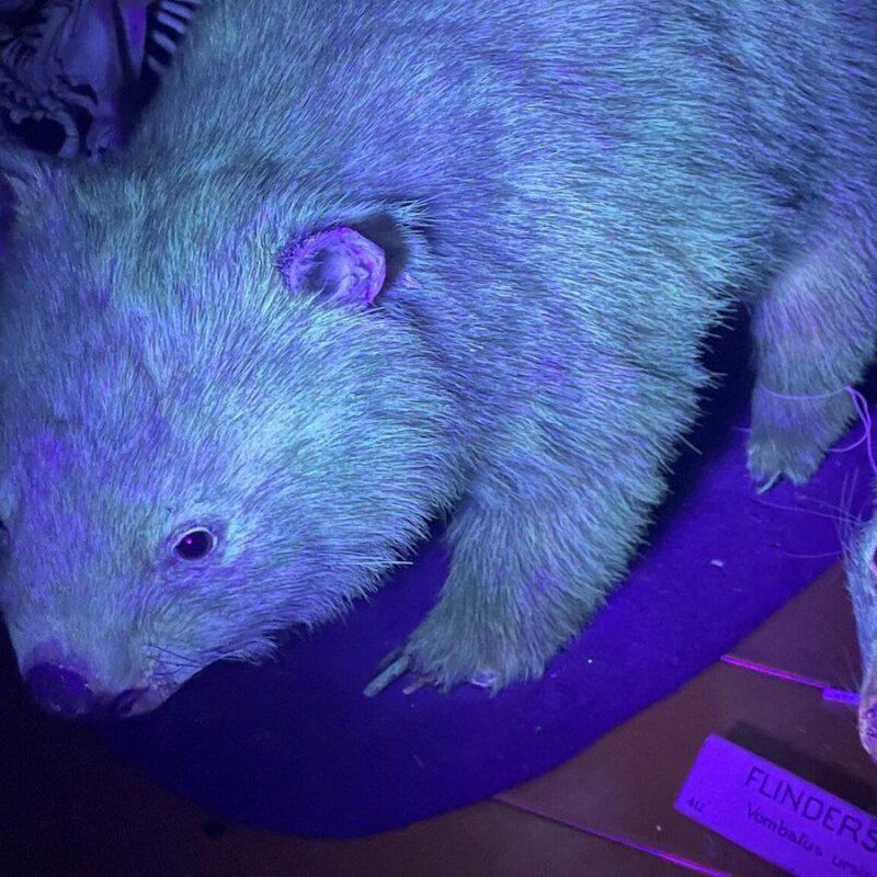 fluorescence-wombat-lumiere