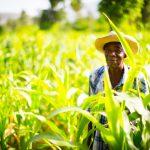 Fermier producteur de coton, Haïti